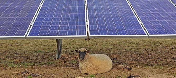 Foto: Schaf mit Photvoltaikanlage